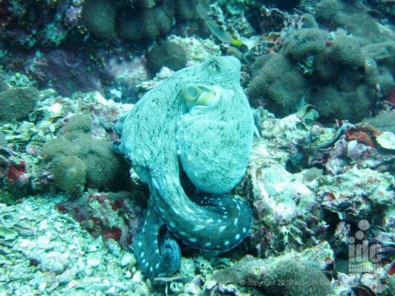 Octopus seen while scuba divint in Burma at Black Rock