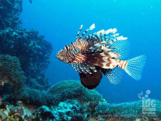 Pacific Lion Fish found at Ko Tachai Pinnacle Surin Islands