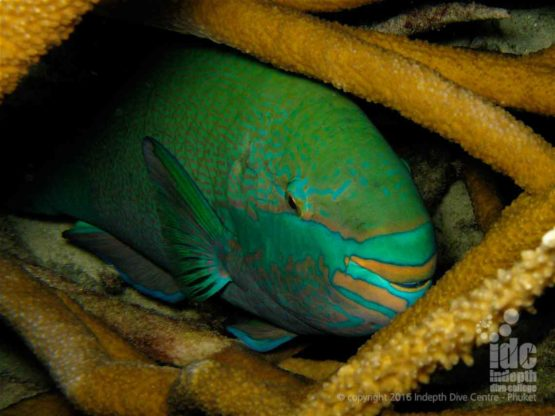 Parrot Fish among Staghorn Coral at Bungalow Bay Raja Islands