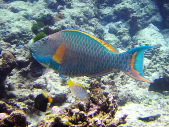 At shark point you can take a photo of a Parrot fish on your PADI Fish ID Course