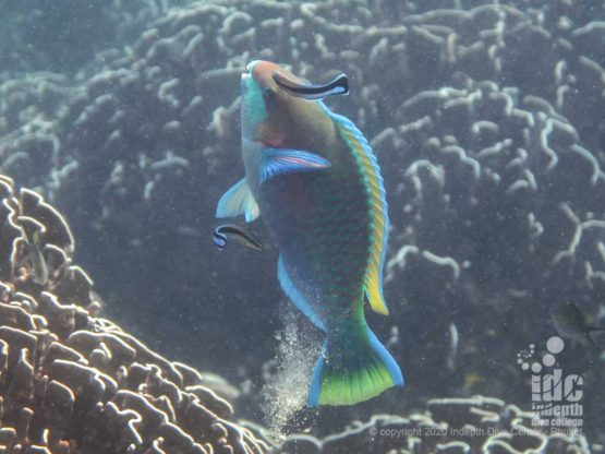 Parrot fish enjoying a cleaning service at Racha Yai Bungalow Bay dive site