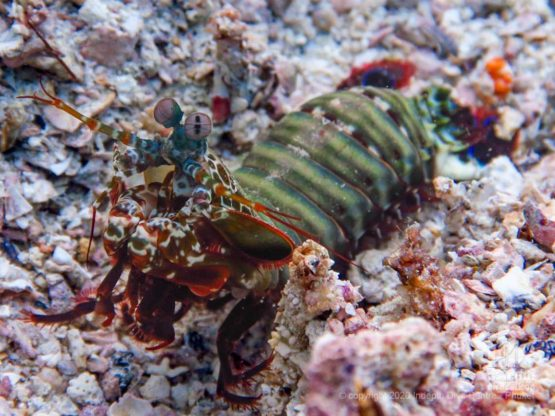 Peacock Mantis Shrimps are a common sight when diving Homerun Reef in Racha Yai Island Phuket