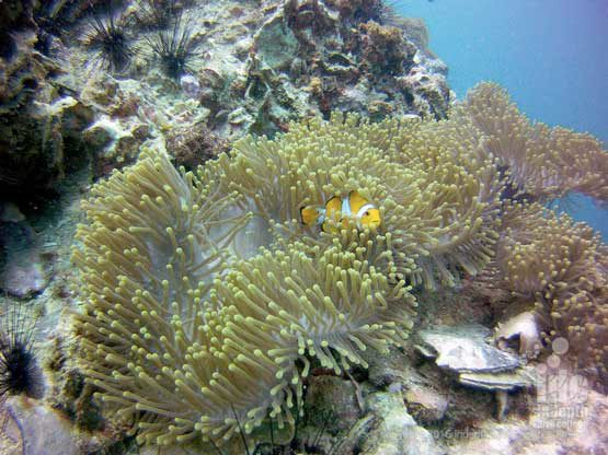 Homerun Reef Phuket is a cool place to see some Anemone Fish chilling in the Sea Anemones