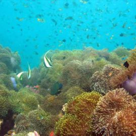 Anemone Reef is probably Phuket's most beautiful local dive site