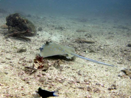 Lot of Sting Rays diving at Kata Beach House Reef