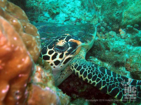 Want to see a Turtle on a Phuket dive then join us for PADI Adventure Diver Course