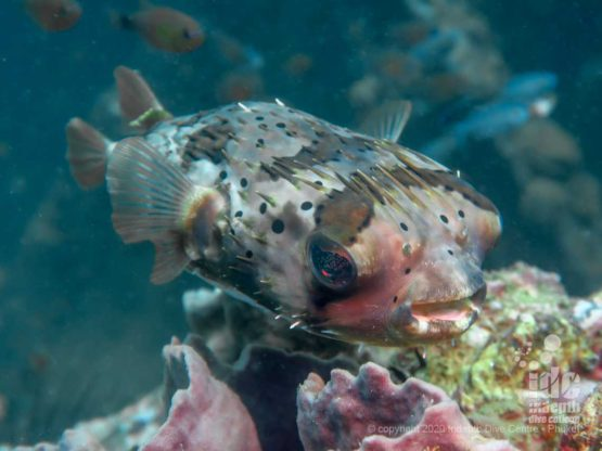 One of the many resident Porcupine Fish at Boonsung Wreck