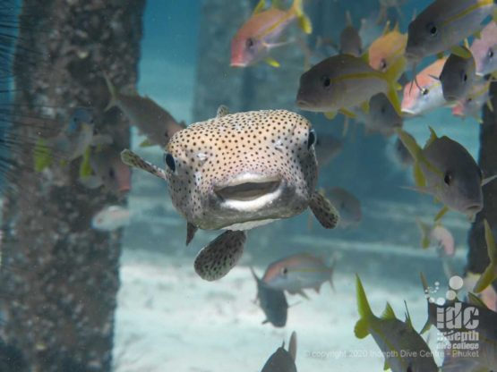 Cute porcupine fish at Racha Yai Bay 1 Dive Site Phuket