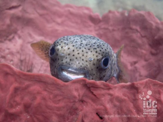 Cute porcupine fish at Turtle Rock dive site