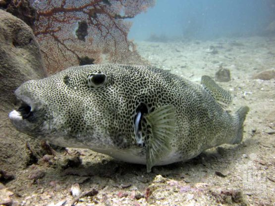 Giant Puffer FIsh spotted on a Similans Check Out Dive at Anitas Reef