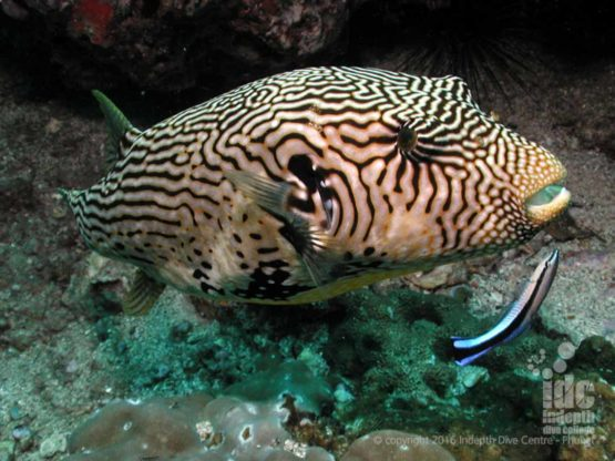 Puffer Fish at Breakfast Bend in The Similans