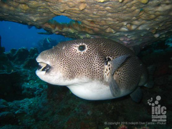 Giant Puffer Fish found a recent PADI Deep Diver Specialty Course