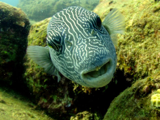 Puffer Fish seen on a Scuba Dive at Hin Bida Phi Phi