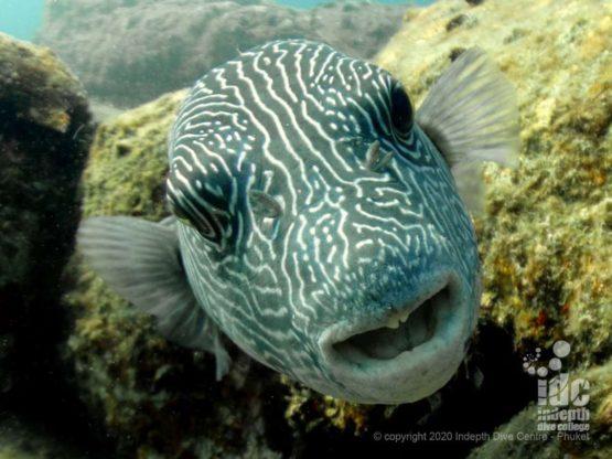 Curious pufferfish