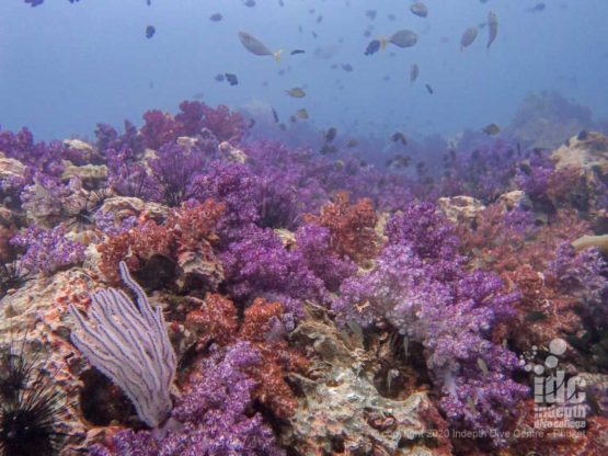 Hin Muang dive site gets its name from the abundant purple soft coral