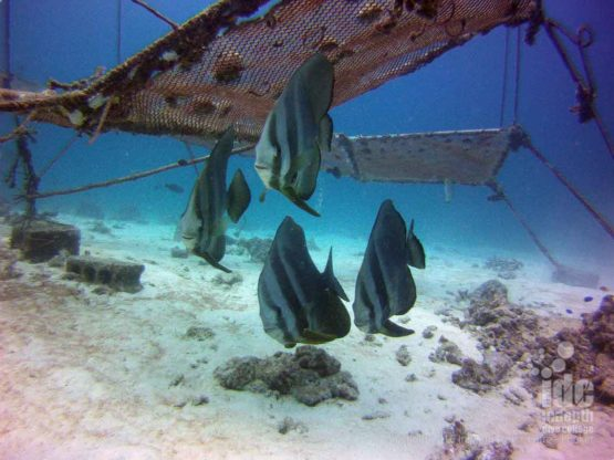 Bat Fish swimming around The Cubes at Racha Yai Bay 3