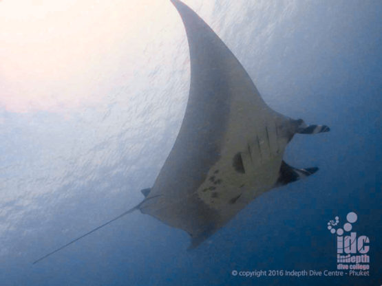 Manta rays are occasionally spotted when diving Racha Noi Banana Bay