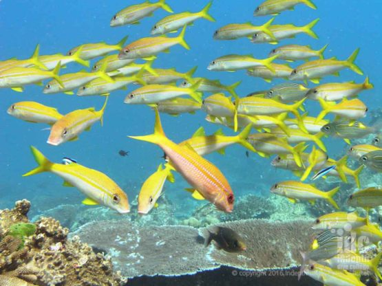 Reef Fish found at Twin Cheeks are similar to Phuket