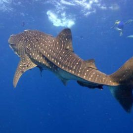 Whale Shark at Richelieu Rock Phuket Thailand