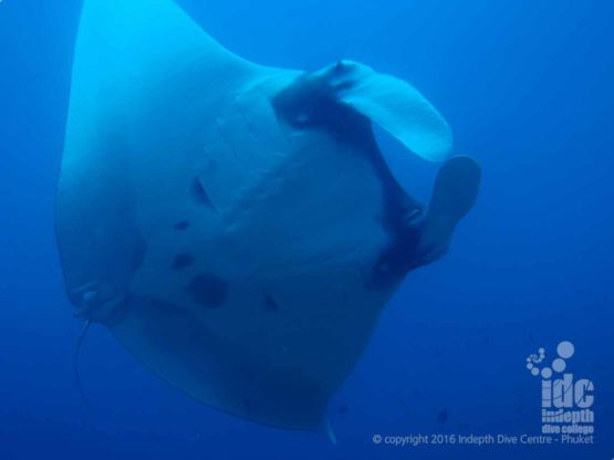 At Richelieu Rock Mantas are seen every day while scuba diving