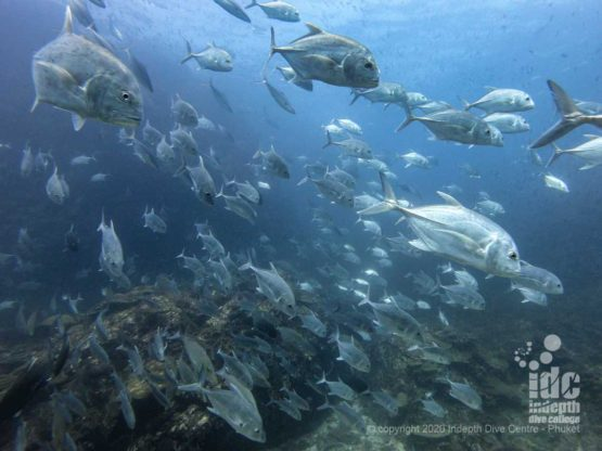 When diving at Richelieu Rock you will be completely surrounded by fish, including large Giant Trevally