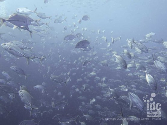 Resident school of Big Eye Trevally (Jacks) at Richelieu Rock - Best Thailand Dive Site