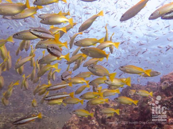 Schools of yellow snappers are one of the many wonders of Richelieu Rock