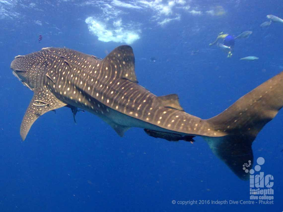 Richelieu Rock Whale Shark bonanza with Indepth Dive Centre