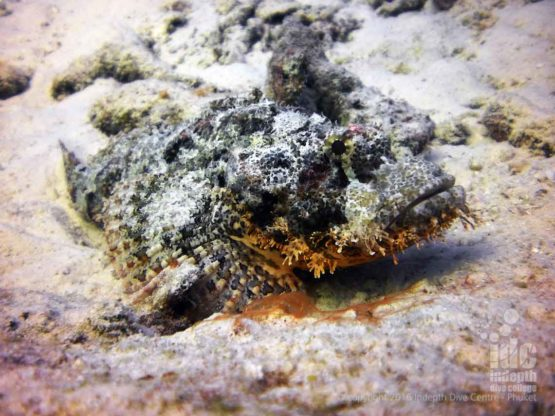 Scorpian Fish photographed by a Phuket Rebreather Diver
