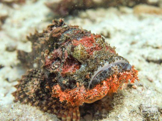 Scorpionfish at Koh Bida Nai - Diving Phi Phi
