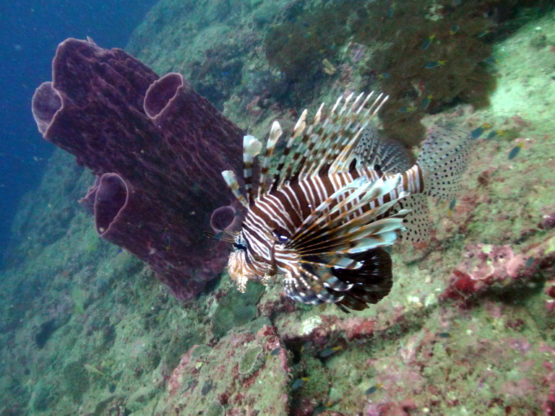 Scuba Diving with Lion Fish at Hin Bida
