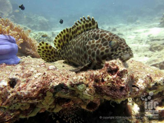 There are lots of Coral Reef Fish to be seen scuba diving at Siam Bay