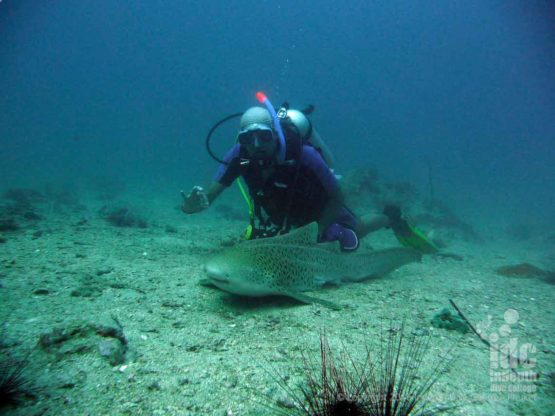 Chris Owen our PADI Course Director diving with a Leopard Shark