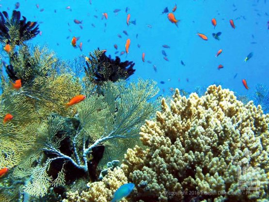 Enjoy Sea fan and corals on your PADI Scuba Diver Course