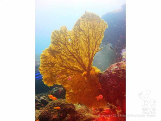 Phuket Coral Reef Conservation: Giant Sea Fan seen on a fun dive