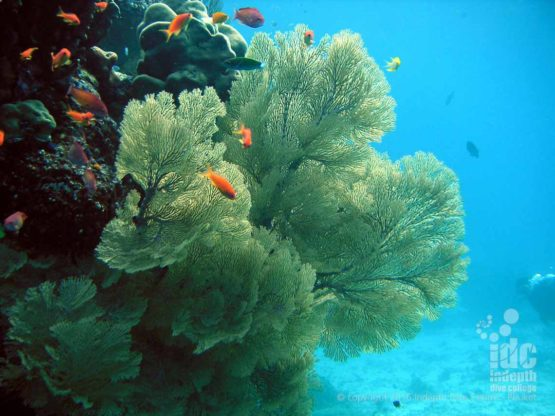 Stunning Sea Fans in The Similans at Elephant Head Rock