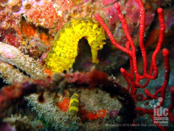 A Sea Horse at Turtle Rock on one of the best Similan Night Dive Sites