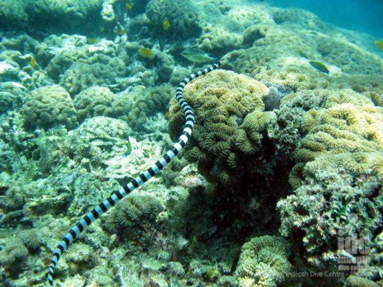 Sea Snake at Koh Doc Mai Phuket Thailand