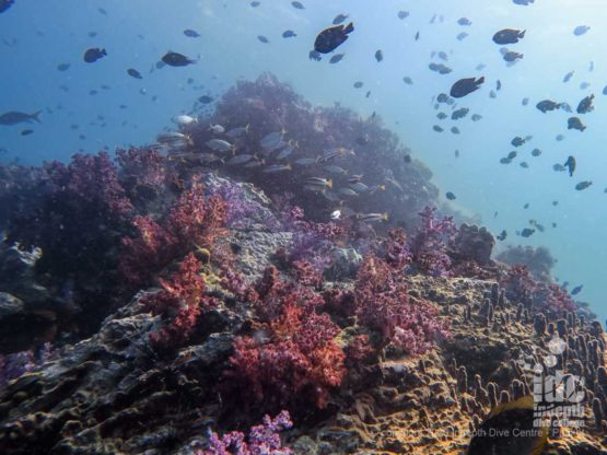 Beautiful purple soft corals at Shark Point Phuket
