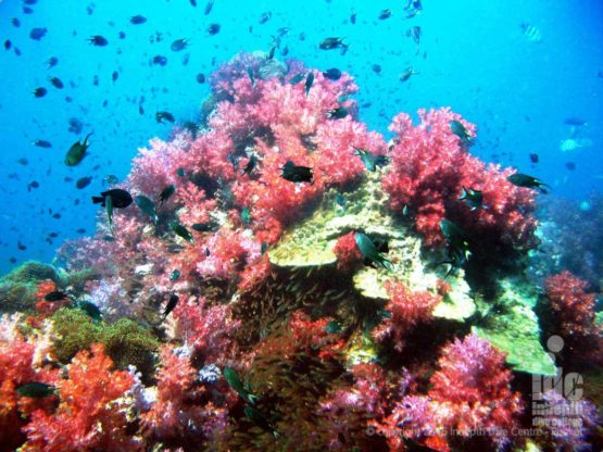 Amazing Coral Reef Conservation diving at Shark Point covered in Soft Corals