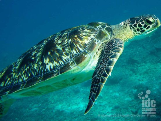 Green Turtle seen at Chinese Wall in The Similan Islands