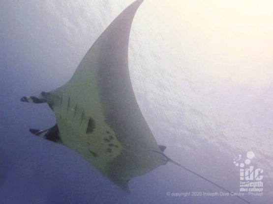Manta Rays occasionally cruise by Chinese Wall Dive Site in Similan Islands