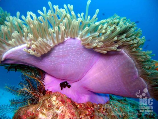 Purple Soft Coral is what gives Hin Muang it's name