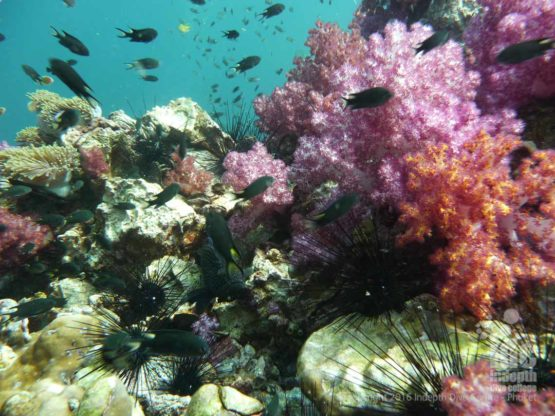 There is tons of Soft Coral at Surin by Liveaboard Safari