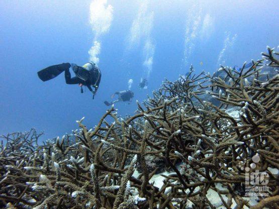 Pristine Staghorn Corals at Honeymoon Bay