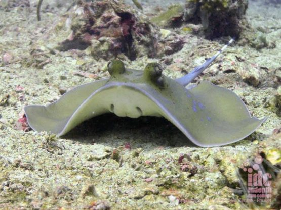 Blue spotted stingrays are often found on the sandy bottom at Koh Bida Nai Dive Site