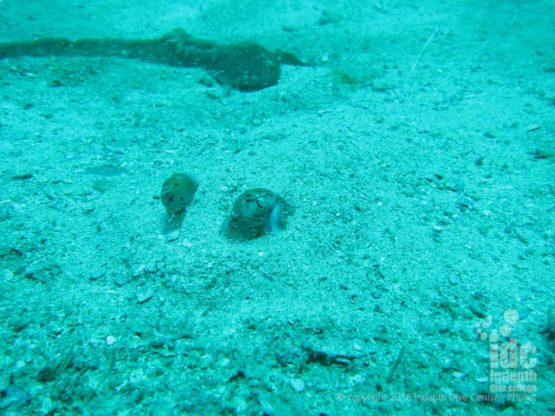 Sting Rays can been on all Similan Liveaboards and Phuket Day Trips