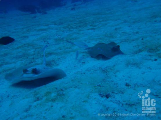 Sting Rays seen while diving at Chinese Wall Similans