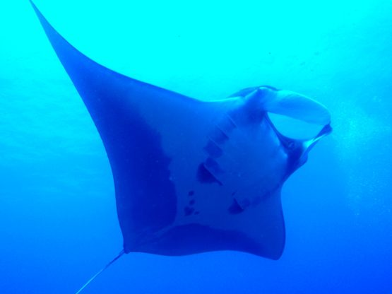 Surin Islands Ko Bon West Ridge Manta Dive with Indepth Dive Centre Phuket