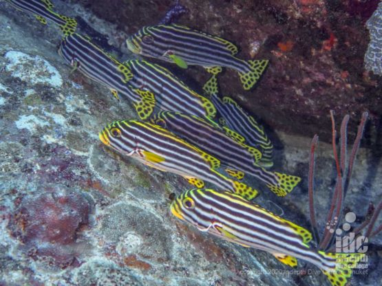 Lots of cool fish like Oriientals Sweetlips like to hide in the shadowy areas under the boulders at Elephant Head Rocks